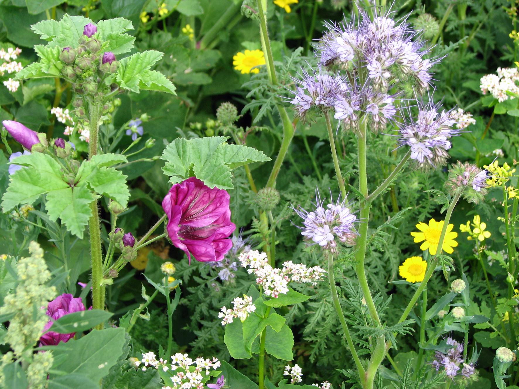 Ackerrandstreifen Blüte 2