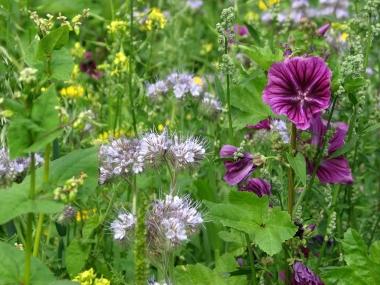 Ackerrandstreifen Blüte 3