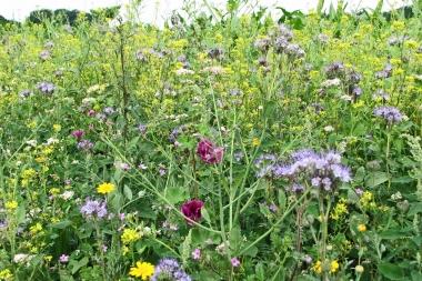 Ackerrandstreifen Blüte 5