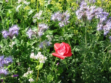 Ackerrandstreifen Blüte 6