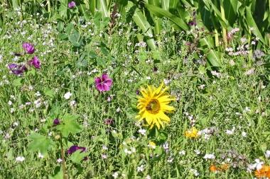 Ackerrandstreifen Blüte 7