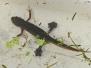 Amphibien Lö.