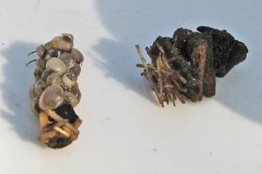 Köcherfliegenlarven 1
