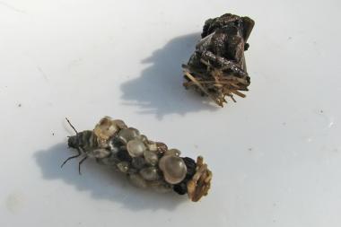 Köcherfliegenlarven 2