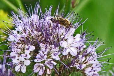 Phacelia mit Biene