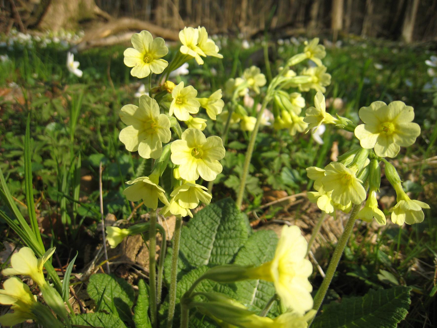 Waldschlüsselblume, Primula elatior