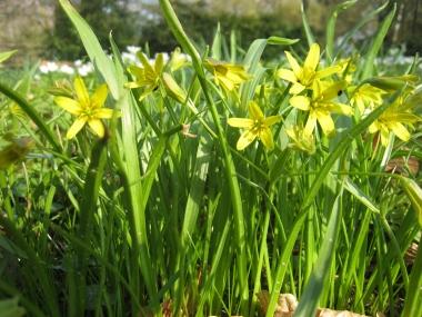 Gelbstern oder auch Gemeiner Goldstern; Gagea lutea