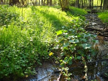 Lamckens Busch mit Sumpfdotterblume, Caltha palustris