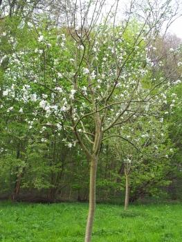 2014 Baumschnitt Streuobstwiese im April